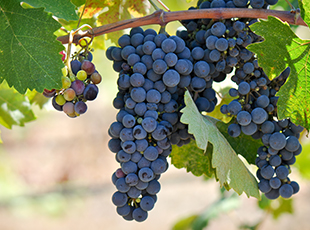 Grape Production